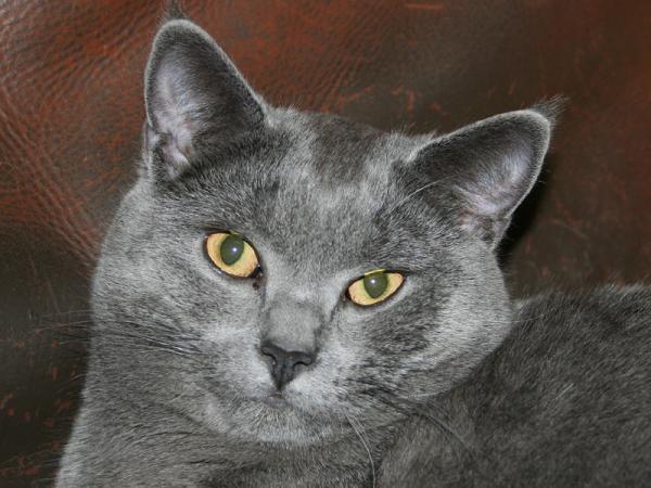 название фото породы кошка серая